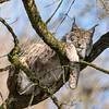 Lynx Boréal - Eurasian Lynx