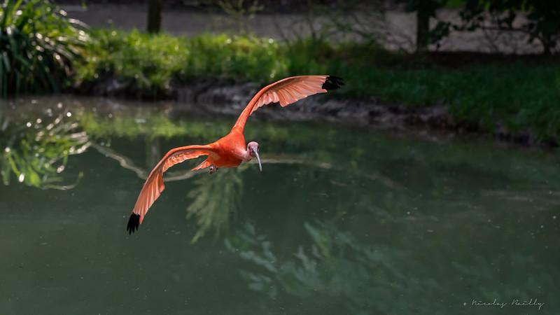 Ibis Rouge - Scarlet Ibis