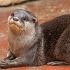 Loutre d'Europe - Lutra lutra