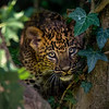 Panthère de Ceylan - Sri Lankan leopard