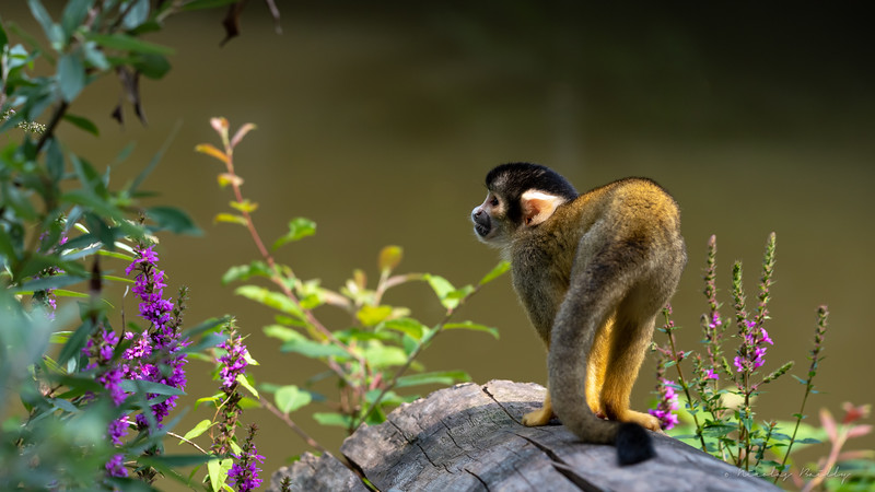 Saïmiri du Pérou - Peruvian Squirrel Monkey