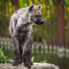 Hyène tachetée - Crocuta crocuta
