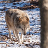 Loup Gris d'Europe - Grey Wolf