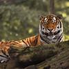 Tigre de Sibérie - Siberian Tiger