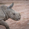Jeune Rhinocéros