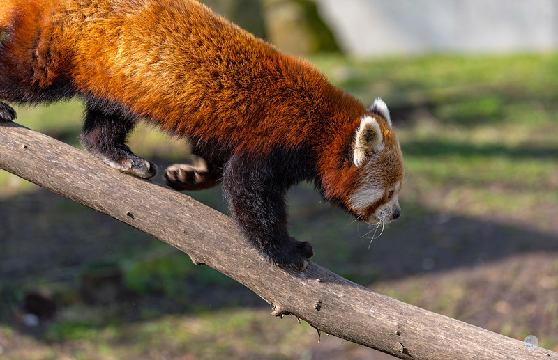 Panda Roux - Ailurus fulgens