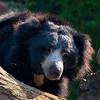 Ours Lippu - Sloth Bear