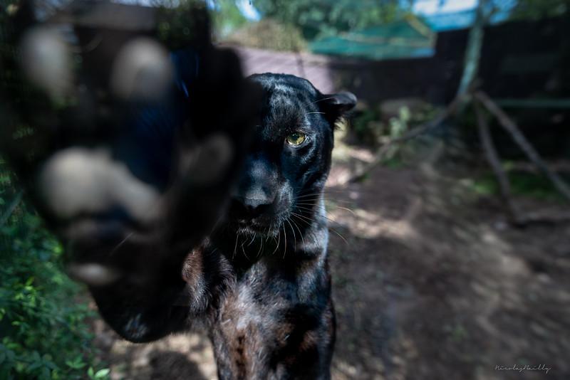 Panthère Noire - Black Panther