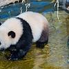 Bébé Panda Géant - Ailuropoda melanoleuca