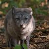 Renard Polaire - Arctic Fox