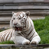 Tigre Blanc Royal - Panthera tigris
