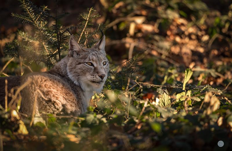 Lynx Boréal - Lynx lynx