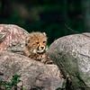 Jeune Guépard - Young Southern African Cheetah
