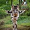 Girafes du Niger - Giraffa camelopardalis