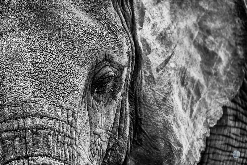 Eléphant de la Savane d'Afrique - Loxodonta africana