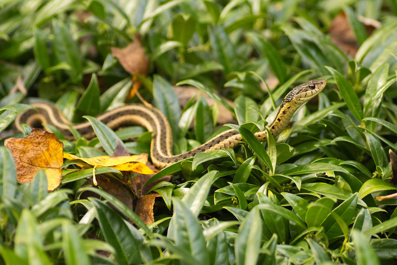This garter snake (I believe) was stretched out on top of the bushes looking for some sunshine.