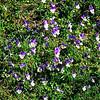 Rare Alpine flower, the Gentian