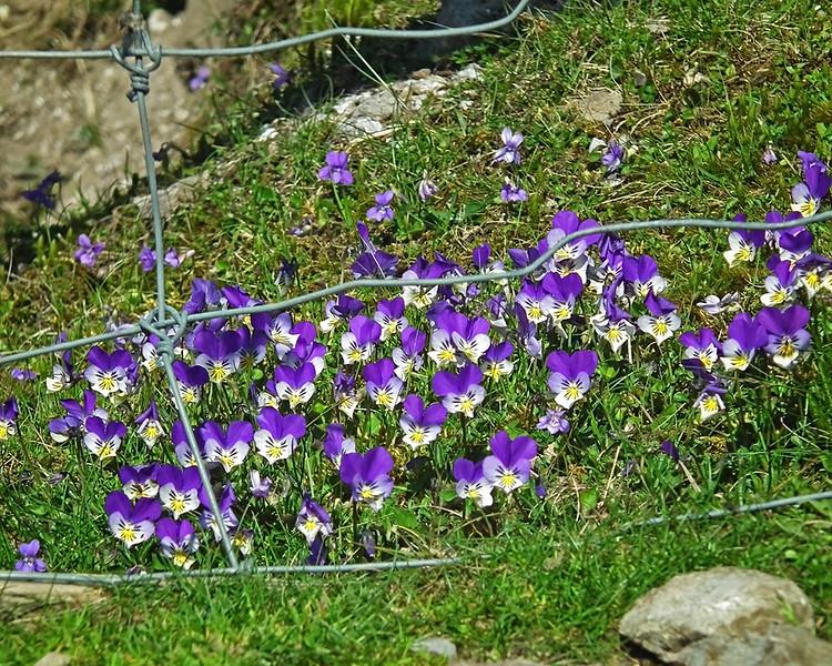 Rare Alpine flower, the Blue Gentian