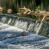 A mother duck teaching two ducklings to climb the weir ...... it took them over 15 minutes' but they got there.