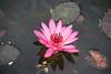 SUKHOTHAI  Lotus flower