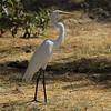 The San Jose Estuary-Great egret
