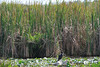 Sawgrass with Cormorant