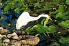 Cattle Egret, Anhinga Trail, Everglades NP