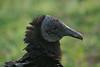 Black Vulture, Anhinga Trail, Everglades NP