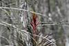 Bromeliad in a cypress tree