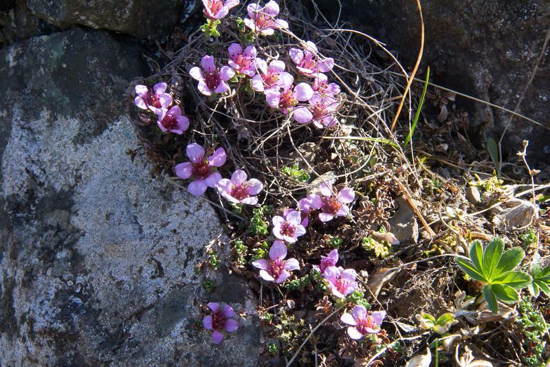 Icelandic saxifrage