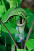 Jack-in-the-pulpit (Arisaema triphyllum)-6