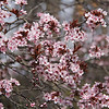 Japanese flowering plum