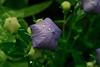 Balloon Flower (Platycodon)