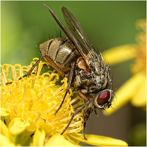 The Yellow Dung Fly (Scathophaga stercoraria)