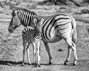 Zebra Foal Still Dependant On Its Very Pregnant Mother