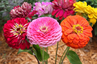 Rainbow of Colorful Zinnias