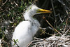 This Great White Egret fledgling is probably two or three weeks old. <em> Photo credit: Marcy Crowe Spears</em> </div>