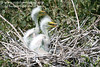 Hungry Great White Egret fledglings. <em> Photo credit: Marcy Crowe Spears</em> </div>