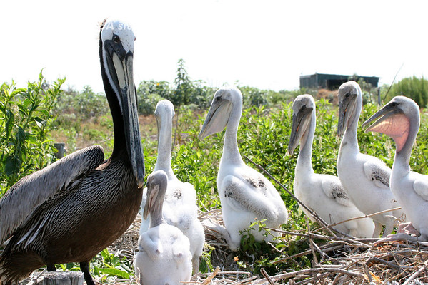 This adult Brown Pelican seemed to be conducting a class with these fledglings. <em> Photo credit: Marcy Crowe Spears</em> </div>