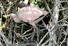 Fledgling Roseate Spoonbill. <em> Photo credit: Marcy Crowe Spears</em> </div>