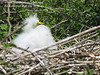 Great White Egret chick.  Photo credit: Peggy Wilkinson.