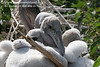 Pelican chicks with their soft, white downy feathers, hudling together for protection. Photo credit: Diane Nunley.