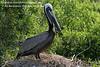 American Brown Pelican. Photo credit: Diane Nunley.