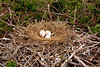 Brown Pelican eggs.  What a gorgeous nest this is.  This was built by parents with some real experience! Photo credit: Peggy Wilkinson.