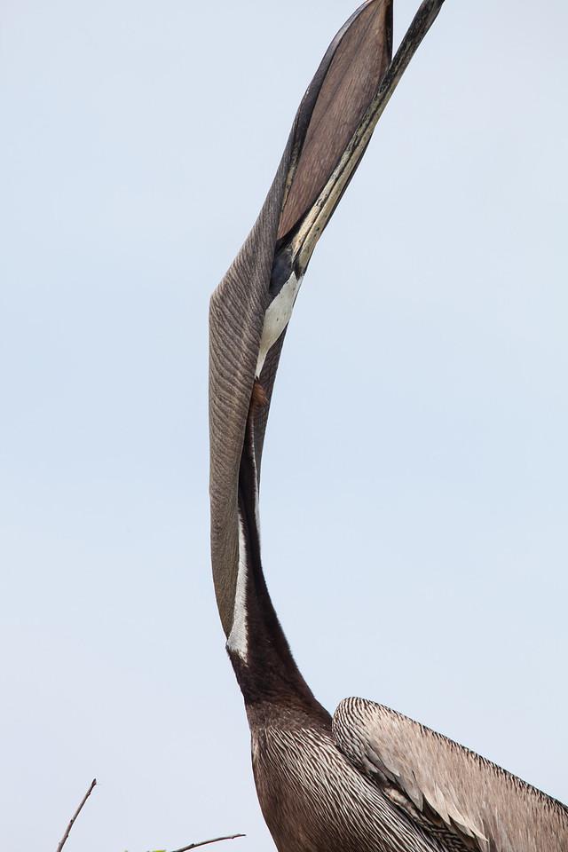 Anatomy of a Pelican Yawn