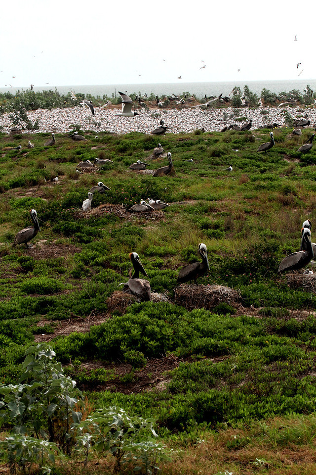 Great view of the tern colony behind the nesting Brown Pelicans—no doubt the photo was taking from the ladder! <em> Photo credit: Brent Ortego</em>
