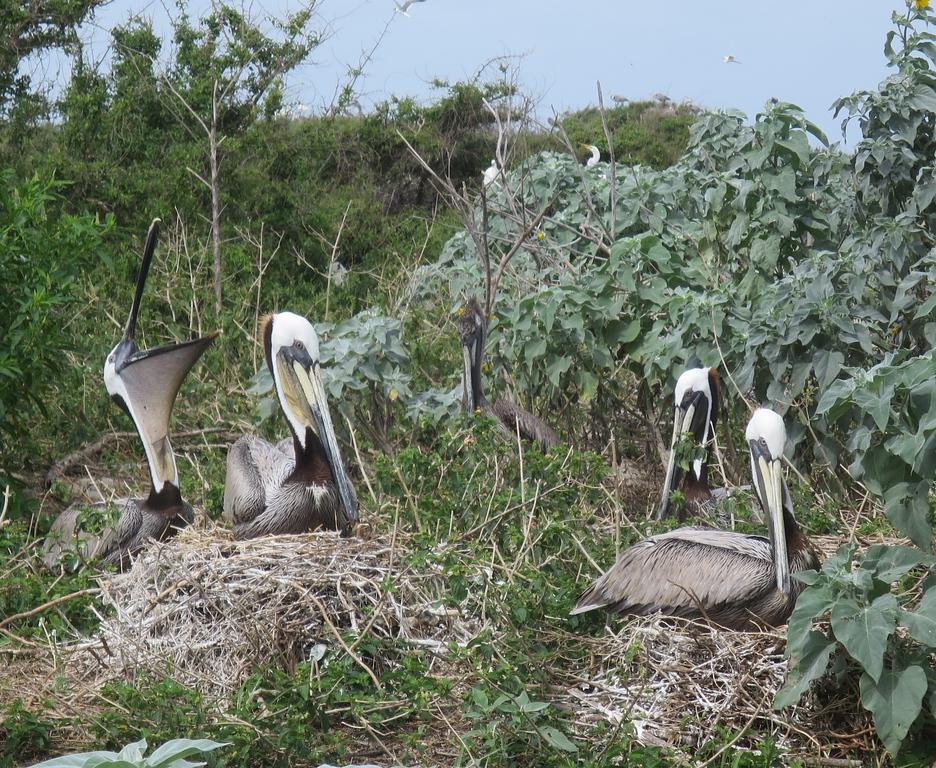 Pelicans stretch their gullet. <em> Photo credit: Brent Ortego</em>