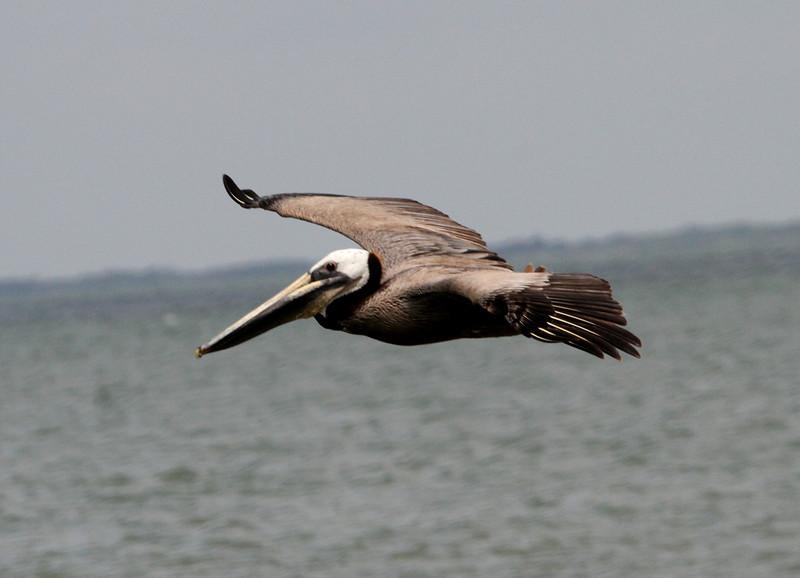 Great shot of a flying adult Brown Pelican. <em> Photo credit: Brent Ortego</em>