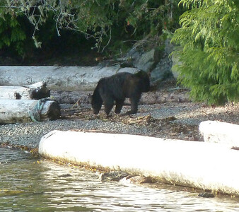 Annette's first black bear seen in the wild from the safety of our kayaks!!