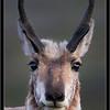 Pronghorn Portrait